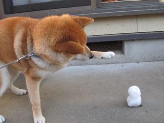 柴犬,画像,ハルちゃん,雪だるま,雪ダルマ,写真,はるちゃん,しばいぬ,しばけん,